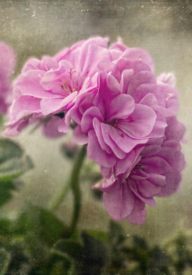 floral photography, flowers, painting, digital art, artwork, Canadian artist, garden, botanical prints, botanical gardens, artwork, art, flowers, floral, floral photography, petals, distressed, floral artwork,
