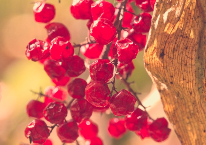 forest, berries, colour, red berries, wild berries, nature, autumn, fall, red, Canadian Art, Garvin Hunter Photography