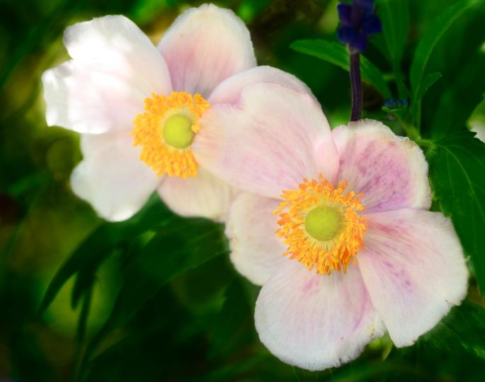 Niagara Falls, Ontario, Canada, Botanical gardens, gardens, floral photography, flowers, macro,