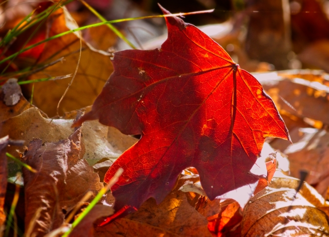 forest, leaves, leaf, maple leaf, maple leafs, Canadian Art, Garvin Hunter Photography, forest floor, autumn, Canadian fall, Fall, Thanksgiving, colours, fall colours