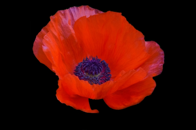 poppy, floral photography, photography, flowers, botanical gardens, botanical prints, Garvin Hunter Photography, Remembrance Day,