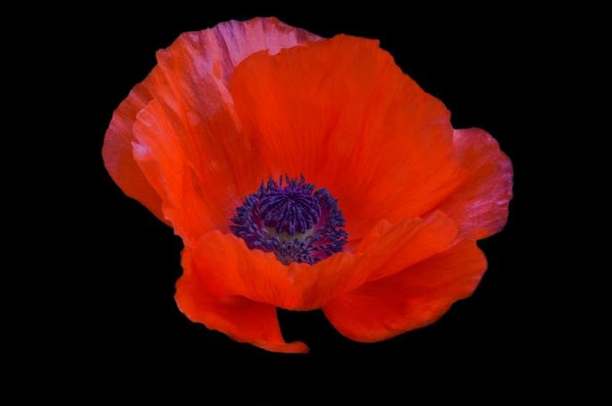 Poppy, Garvin Blog, Garvin Hunter Photography, blog, Garvin blog, Floral, flower,